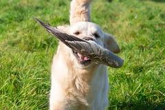 Gundog at work. Golden retriever retrieves a goose wing Royalty Free Stock Photos