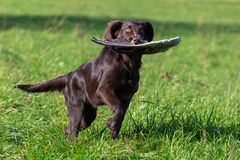 Gundog at work. Young dog retrieves a goose wing Stock Images