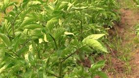 Gunga för potatisväxt i vind Bruka och skörd lager videofilmer