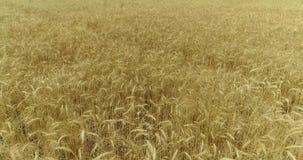 Gungning för gulingöravete i vinden, bakgrundsfältet av mogna öron av vete, skörd stock video