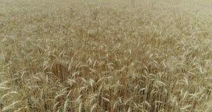 Gungning för gulingöravete i vinden, bakgrundsfältet av mogna öron av vete, skörd, vete som växer på fältet, antenn stock video