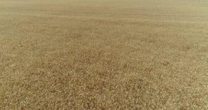 Gungning för gulingöravete i vinden, bakgrundsfältet av mogna öron av vete, skörd, vete som växer på fältet, antenn arkivfilmer