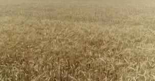 Gungning för gulingöravete i vinden, bakgrundsfältet av mogna öron av vete, skörd, vete som växer på fältet, antenn lager videofilmer