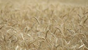 Gungning för gulingöravete i vinden, bakgrundsfältet av mogna öron av vete, skörd, vete som växer på fältet, video lager videofilmer