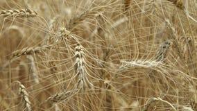 Gungning för gulingöravete i vinden, bakgrundsfältet av mogna öron av vete, skörd, vete som växer på fältet, video arkivfilmer