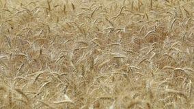 Gungning för gulingöravete i vinden, bakgrundsfältet av mogna öron av vete, skörd, vete som växer på fältet, video stock video