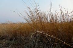 Gungning för torrt gräs i vinden mot solnedgånghösthimlen arkivbilder