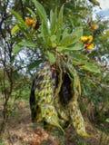 Gungu Peas Pods Pigeon Peas royalty free stock images