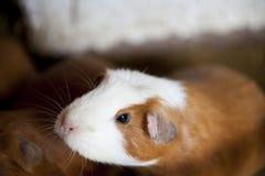 Guniea Pig Stock Images