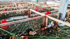 Guniea-Schweine in Lima - Peru stockfotografie