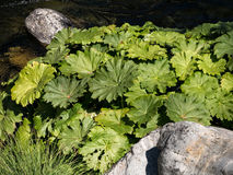 Gunnera植物 库存照片