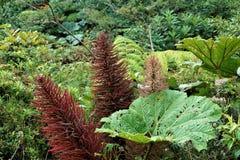 Gunnera insignisväxt och inflorescence i Juan Castro Blanco National Park arkivfoto
