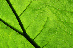 Gunnera Leaf. Close up of a green leaf Royalty Free Stock Photo