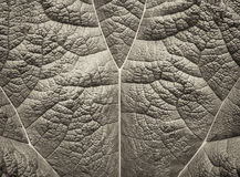 Gunnera Leaf Close-Up Stock Photos