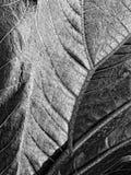 Gunnera leaf. Stock Photo