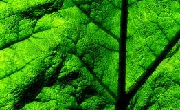 Gunnera tinctoria. Leaf. Royalty Free Stock Image