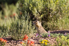 Gunnison's Prairie Dog, Cynomys gunnisoni Stock Photos
