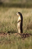 Gunnison's Prairie Dog, Cynomys gunnisoni Royalty Free Stock Photo