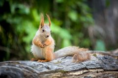 Gunny squirrel Stock Images