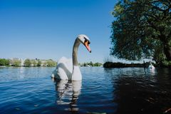 Gunstzwaan die op Alster-Meer in Hamburg op een zonnige dag zwemmen royalty-vrije stock fotografie