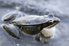 Gunther's frog Stock Images