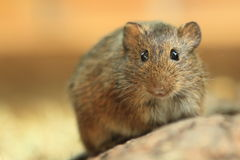 Gunther's vole Royalty Free Stock Photography
