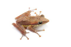 Gunther`s whipping frog, montane hour-glass tree-frog, Taruga eques on white Stock Image