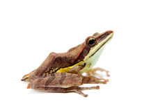 Gunther`s whipping frog, montane hour-glass tree-frog, Taruga eques on white Stock Images