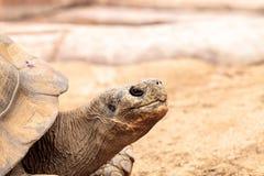 Guntheri nigra Chelonoidis черепахи Сьерры Negra Стоковая Фотография