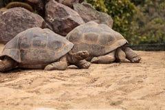 Guntheri nigra Chelonoidis черепахи Сьерры Negra Стоковая Фотография RF