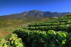 Gunung Kinabalu y planta de la col, Borneo, Sabah Imagen de archivo libre de regalías