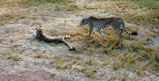 Guépard africain se reposant en nature Image stock