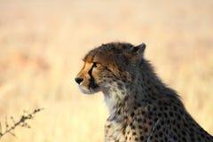 Guépard regardant fixement la proie   Photographie stock libre de droits