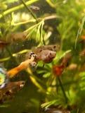 Guppi akvariefisk Fotografering för Bildbyråer