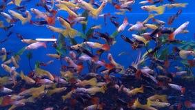 Guppie aquarium Stock Image