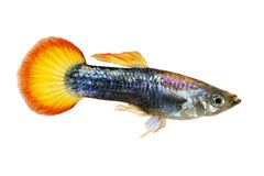Guppy κόκκινα Poecilia reticulata ζωηρόχρωμα ψάρια ενυδρείων ουράνιων τόξων τροπικά στοκ φωτογραφία