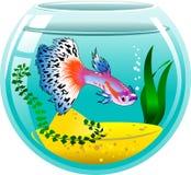 Guppy in an aquarium Stock Images