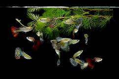 Guppy dei pesci su fondo nero Fotografia Stock Libera da Diritti