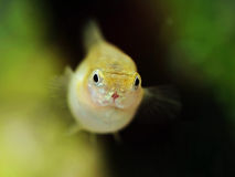 Guppy Royalty Free Stock Photos