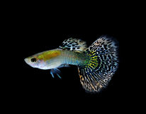 Guppy  fish  isolated on black Stock Images