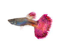 Guppy fish Stock Images
