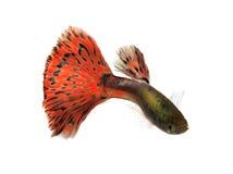 Guppy fish. Isolated on white background royalty free stock photos