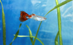 Guppy fish male. Male guppy fish in blue water royalty free stock photos