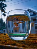 Guppy fish royalty free stock photo
