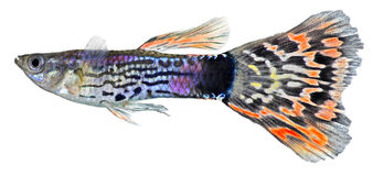 Guppy fish  (Poecilia reticulata) Royalty Free Stock Images