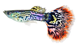 Guppy fish  (Poecilia reticulata) Stock Photos