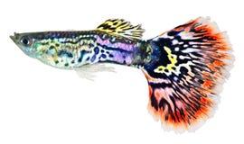 Guppy fish  (Poecilia reticulata). Guppy fish isolated in white background  (Poecilia reticulata Stock Photos