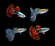 Guppy fish swimming isolated on black. Beautiful guppy fish swimming isolated on black royalty free stock photo