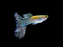 Guppy fish swimming isolated on black. Guppy pet fish swimming isolated on black royalty free stock photography