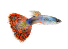 Guppy fish on white background. Guppy fish isolated on white background royalty free stock images